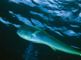 A Close View of a Dolphin Fish, Also Known as Mahi Mahi, Swimming in the Sea