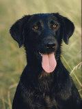 Portrait of a Black Labrador Dog