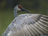 A Sandhill Crane Peers over its Unfurled Wing