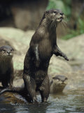 A Group of Asian Small-Clawed Otters Wade in a Pool of Water