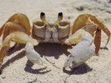 A Ghost Crab Assumes a Defensive Posture