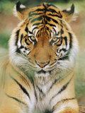 A Portrait of a Sumatran Tiger