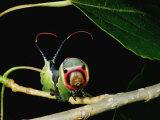 A Puss Moth Caterpillar on a Branch, Showing its False Face
