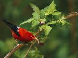 View of an Iiwi Bird on Akala or Hawaiian Raspberry