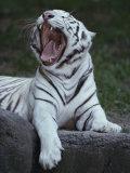 A Captive Siberian Tiger Yawns
