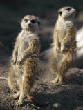 Two Meerkats Stand Guard Outside Their Den