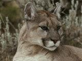 Portrait of a Mountain Lion