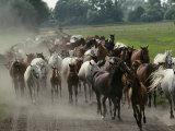 Purebred Arabian Horses Raised at a Stud Farm