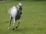 Galloping Arabian Horse