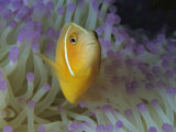 A Pink Anemonefish Nestles Among Sea Anemone Tentacles