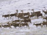 Caribou Herd Running on Winter Tundra, Alaska