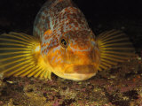 A Close View of the Face of a Member of the Rockfish Family