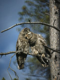 A Pair of Great Gray Owls Preening
