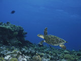 An Endangered Hawksbill Turtle Swims over a Reef