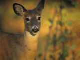 View of a Juvenile White-Tailed Deer (Odocoileus Virginianus)