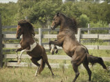 Two Penned Chincoteague Ponies Rear on Their Hind Legs