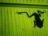 A Tree Frog on a Leaf