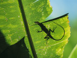 Anole Lizard Silhouetted Behind a Large Leaf
