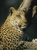 A Leopard, Panthera Pardus, Rests in a Tree