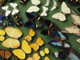 Butterfly Specimens in a Lab of the National Biodiversity Institute