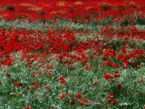 Field of Red Poppies in Chianti Region, Tuscany, Italy