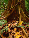 Root Buttress in Jungle on the Osa Peninsula, Corcovado National Park, Puntarenas, Costa Rica