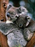 Koala with Baby (Phascolarctos Cinereus), New South Wales, Australia