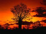 Boab Trees at Sunset, Kununurra,Western Australia, Australia