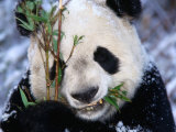 Panda Eating Bamboo in the Wolong Valley at the Sleepy Dragon Nature Reserve, Sichuan, China