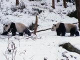 A Pair of Pandas(Ailuropoda Melanoleuca) in Snow, Wolong Ziran Baohuqu, Sichuan, China