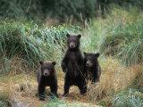 Brown Bear and Three Spring Cubs in Katmai National Park, Alaskan Peninsula, USA