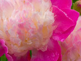 Peony with Raindrops, Olympic Peninsula, Washington, USA