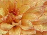Dahlia Flower with Petals Radiating Outward, Sammamish, Washington, USA