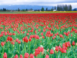 Tulip Festival, Skagit County, Washington, USA