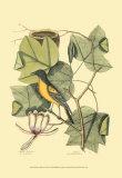 Baltimore Bird and Tulip Tree