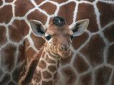 Baby Giraffe at Whipsnade Wild Animal Park Born, June 1996