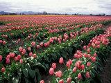 Tulip Field, Skagit Valley, Washington, USA