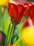 Tulips at Roozengaarde Display Garden, Mount Vernon, Skagit Valley, Washington, USA