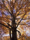 Red Maple Tree, Kentucky, USA