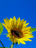 Sunflower in Blue Sky, Seattle, Washington, USA