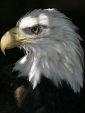 A Bald Eagle Sits in the Shade at the Dallas Zoo