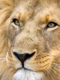 Male Lion at Africat Project, Namibia