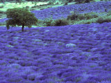 Lavender Field and Almond Tree, Provance, France