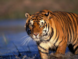Bengal Tiger, India