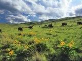 Bison Graze in Arrowleaf Balsamroot, National Bison Range, Moiese, Montana, USA