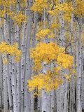 Aspen Grove on Fish Lake Plateau, Fishlake National Forest, Utah, USA