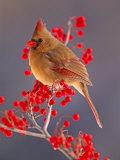 Female Northern Cardinal Among Hawthorn Berries