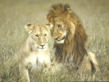 A Pair of Lions in the Wild in Africa