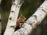 Red Squirrel, Perched on Birch Branch in Snow, Lancashire, UK