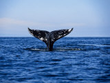 Grey Whale, Diving, Vancouver Island, Canada